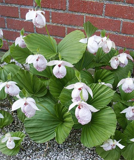 Name:  cypripedium-formosanum-2.jpg Views: 3087 Size:  65.0 KB