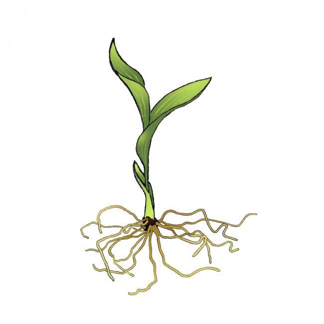 Name:  cypripdium-feuilles.jpg Views: 2687 Size:  24.5 KB