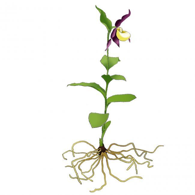Name:  cypripedium-fleurs.jpg Views: 2717 Size:  25.6 KB