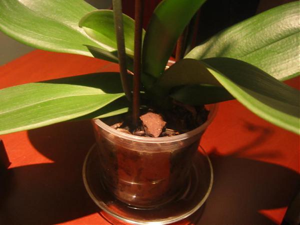Phalaenopsis page 7 for Salon cicek turleri