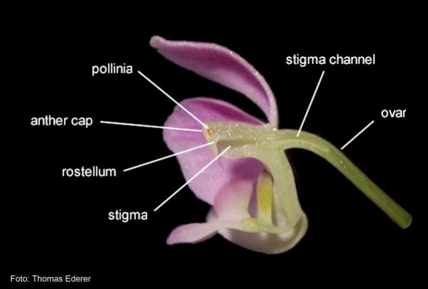 Name:  phalaenopsis.jpg