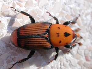 Name:  R-ferrugineus.jpg