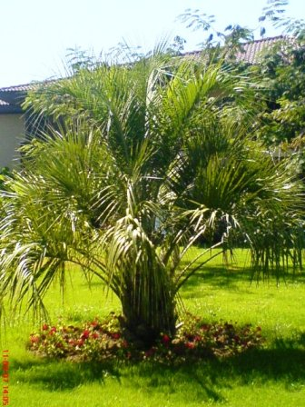 Name:  butia capitata.JPG