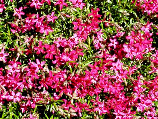 Name:  phlox-subulata.jpg