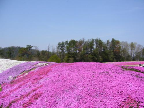 Name:  Phlox subulata3.jpg