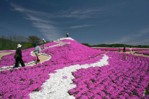 Name:  Phlox subulata4.jpg