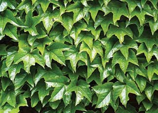 Name:  Parthenocissus tricuspidata.jpg