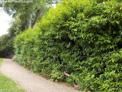 Name:  prunus_laurocerasus_rotundifolia_01.jpg Views: 10350 Size:  61.7 KB