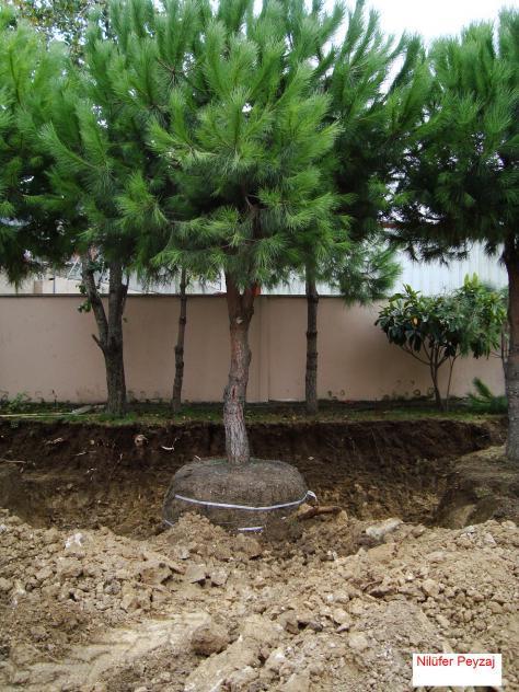 Name:  Çam Ağacı Sökümü 5.jpg Views: 28185 Size:  72.0 KB