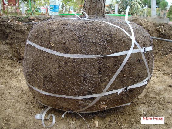 Name:  Çam Ağacı Sökümü 14.jpg Views: 25513 Size:  70.1 KB