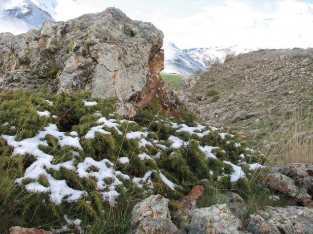 Name:  Juniperus communis subsp. nana.jpg Views: 4769 Size:  70.6 KB