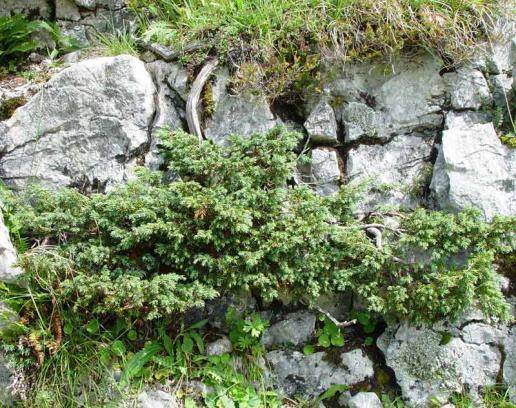 Name:  Juniperus-communis-nana-2.jpg Views: 5020 Size:  73.8 KB
