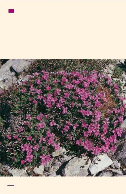 Name:  Acantholimon ulucinum subsp.ulucinum var..jpg Views: 5007 Size:  77.2 KB