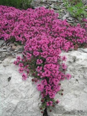Name:  Thymus.jpg