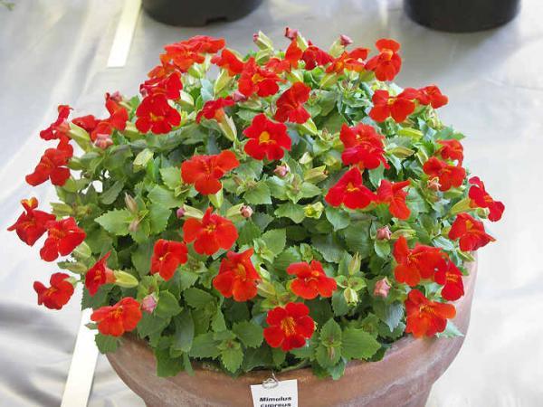 Мимолиус цветы