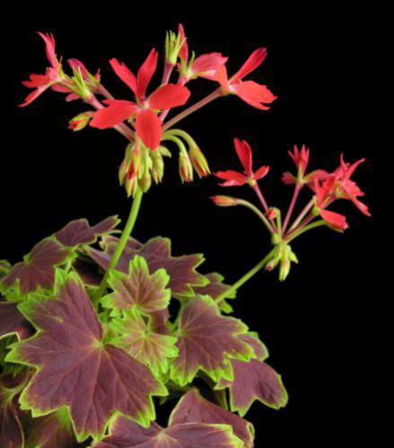 Name:  Pelargonium_VancouverCentennial.jpg Views: 2106 Size:  28.6 KB
