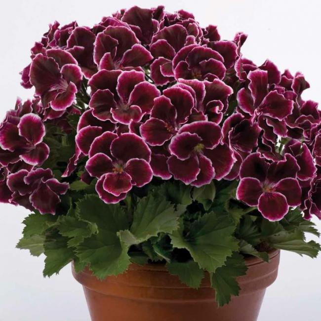 Name:  Geranium Aristo Black Beauty - Regal Pelargoniums.jpg Views: 12938 Size:  64.2 KB