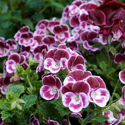 Name:  Geranium 'Swedish Angel' Pelargonium hyb..jpg Views: 9498 Size:  38.5 KB