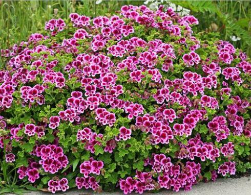 Name:  Pelargonium 'Veronica Contreras'.jpg Views: 9980 Size:  70.6 KB