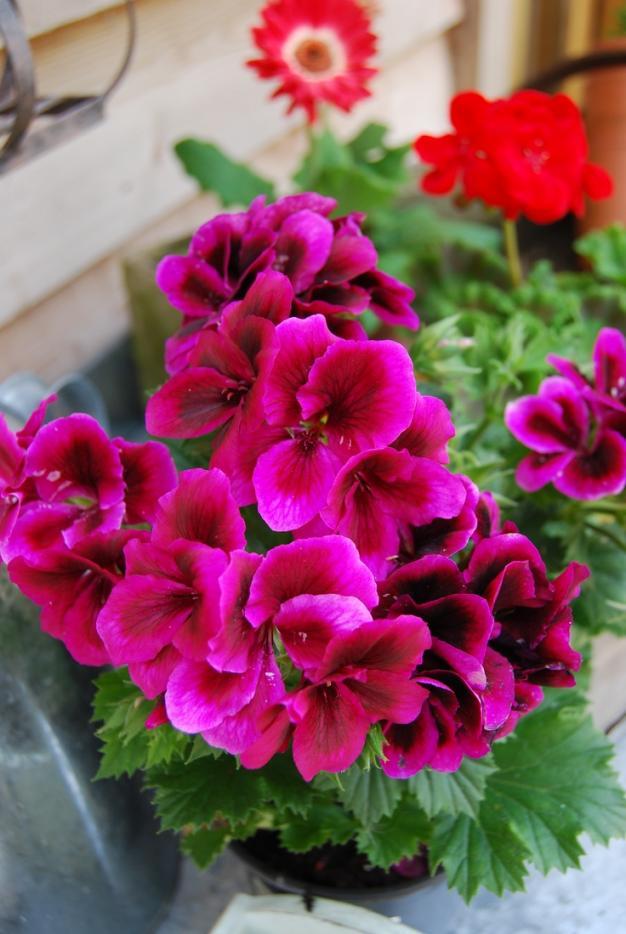 Name:  Pelargonium Candy flowers.jpg Views: 9833 Size:  71.9 KB