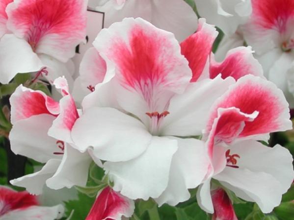Name:  Pelargonium 'First Blush'.jpg Views: 9338 Size:  32.0 KB