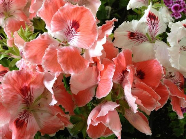 Name:  Regal Pelargonium 'Lita'.jpg Views: 9253 Size:  55.2 KB
