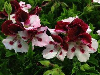 Name:  Regal Pelargonium 'Rosetto'.jpg Views: 10750 Size:  35.1 KB