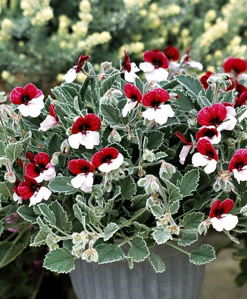 Name:  Viooltjes geranium Menekşe sardunya.jpg Views: 15037 Size:  79.5 KB