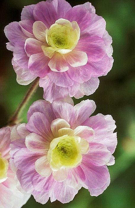 Name:  Geranium pratense 'Summer Skies'.jpg Views: 9512 Size:  61.6 KB