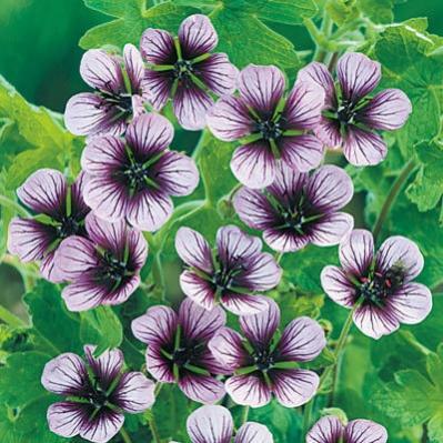 Name:  Geranium Salome.jpg Views: 9213 Size:  43.8 KB