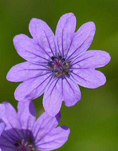 Name:  Hedgerow Cranesbill (geranium pyrenaicum).jpg Views: 9142 Size:  26.2 KB