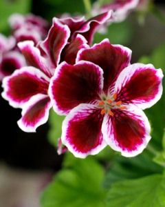 Name:  Martha Washington Geranium (Pelargonium).jpg Views: 9139 Size:  14.5 KB