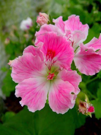 Name:  Martha Washington Geranium, Pelargonium 'Birthday Girl'.jpg Views: 9258 Size:  23.5 KB
