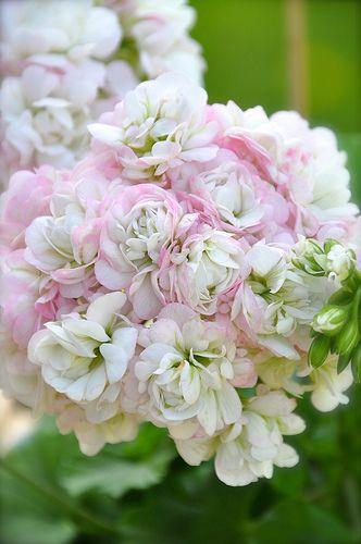 Name:  pelargonium 'April Snow'.jpg Views: 9626 Size:  29.1 KB