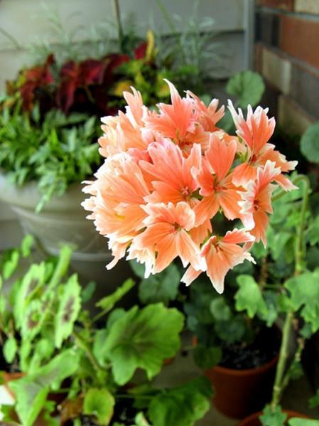 Name:  citronella scented geranium.jpg Views: 9078 Size:  43.2 KB