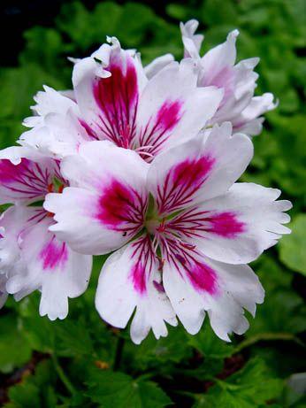 Name:  Geranium 'Arnside Fringed Aztec' Pelargonium.jpg Views: 9078 Size:  28.8 KB