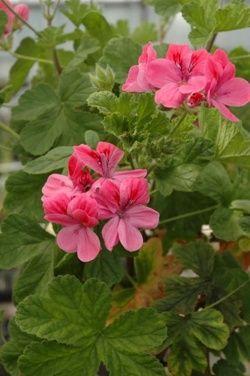 Name:  Geranium 'Clorinda.jpg Views: 9014 Size:  19.5 KB