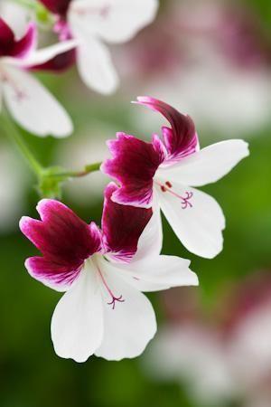 Name:  Pelargonium 'Australian Mystery'.jpg Views: 8957 Size:  16.8 KB