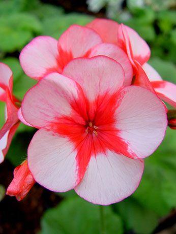 Name:  Pelargonium 'Barnstead Beauty' Geranium.jpg Views: 9262 Size:  23.9 KB