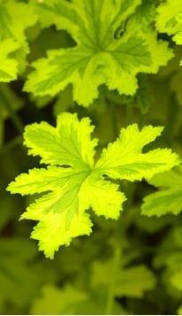 Name:  Pelargonium 'Charity'.jpg Views: 8926 Size:  24.5 KB