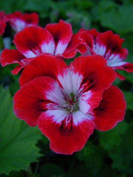 Name:  Pelargonium 'Cherry Baby'.jpg Views: 9088 Size:  33.6 KB