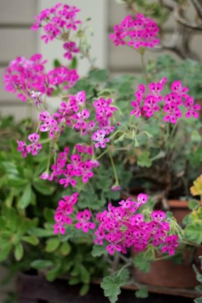 Name:  Pelargonium echinatum.jpg Views: 9024 Size:  33.9 KB