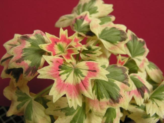Name:  Pelargonium Jericho hibrit.jpg Views: 9125 Size:  38.3 KB
