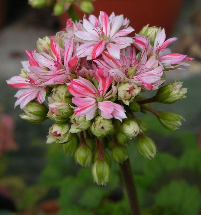 Name:  Pelargonium 'Mallorca'.jpg Views: 8931 Size:  52.7 KB