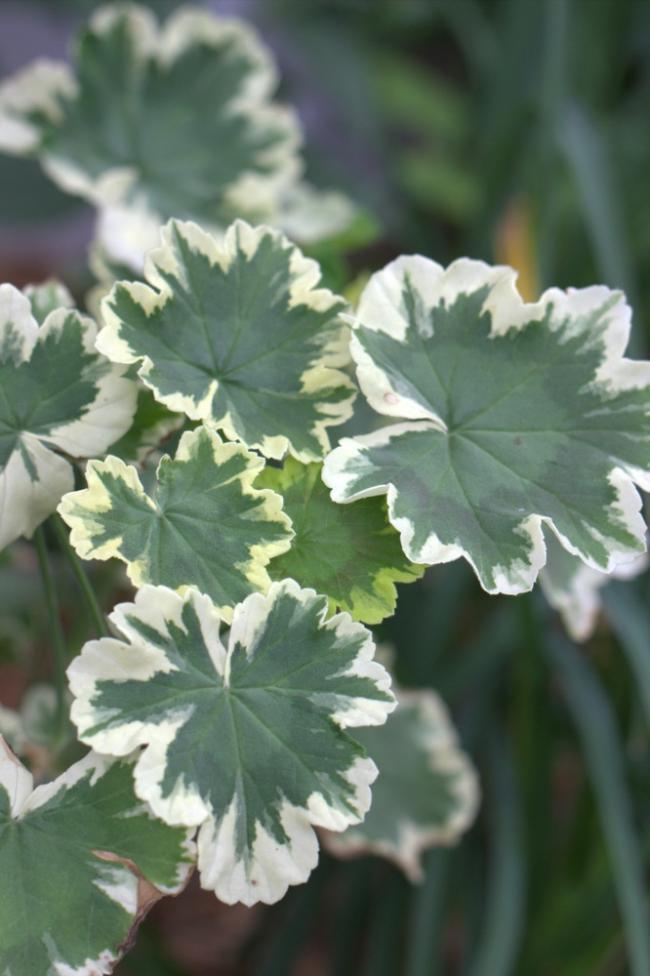 Name:  Pelargonium 'Mrs. Pollock'.jpg Views: 9013 Size:  60.7 KB
