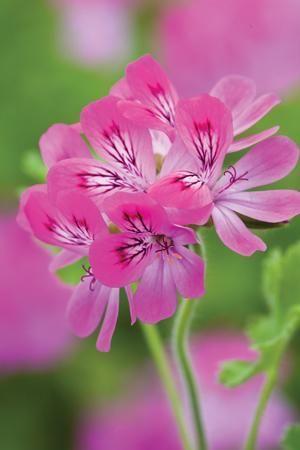 Name:  Pelargonium 'Pink Capricorn'.jpg Views: 8827 Size:  16.8 KB