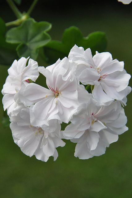 Name:  Pelargonium 'Snowdrift' White geranium.jpg Views: 8963 Size:  30.6 KB