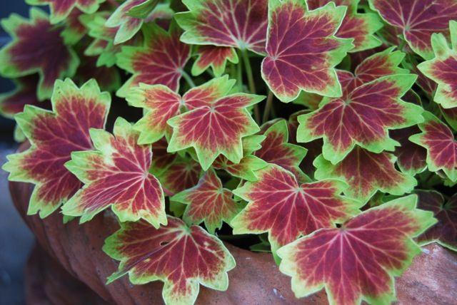 Name:  pelargonium 'vancouver centennial'.jpg Views: 9170 Size:  60.1 KB
