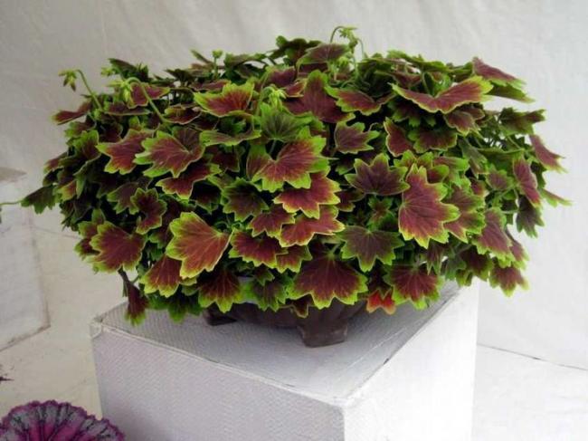 Name:  Pelargonium 'Vancouver'.jpg Views: 9976 Size:  47.9 KB