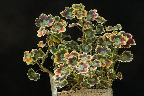 Name:  Zonal Pelargonium Contrast  Variegated Pelargonium.jpg Views: 9364 Size:  36.9 KB